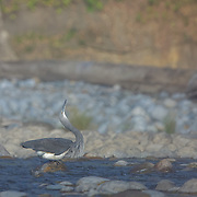 White-bellied Heron