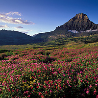 Mount Reynolds and wildfowers. Glacier National Park, Montana.