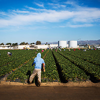 Harvesting strawberries from the fields of Oxnard, CA. Photographed for Food Environmental Reporting Network (FERN) and The Nation.