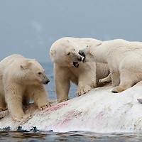 Norway, Svalbard, Spitsbergen Island, Polar Bears (Ursus maritimus) fight while feeding on carcass of dead Fin Whale floating in Sallyhammna Harbor