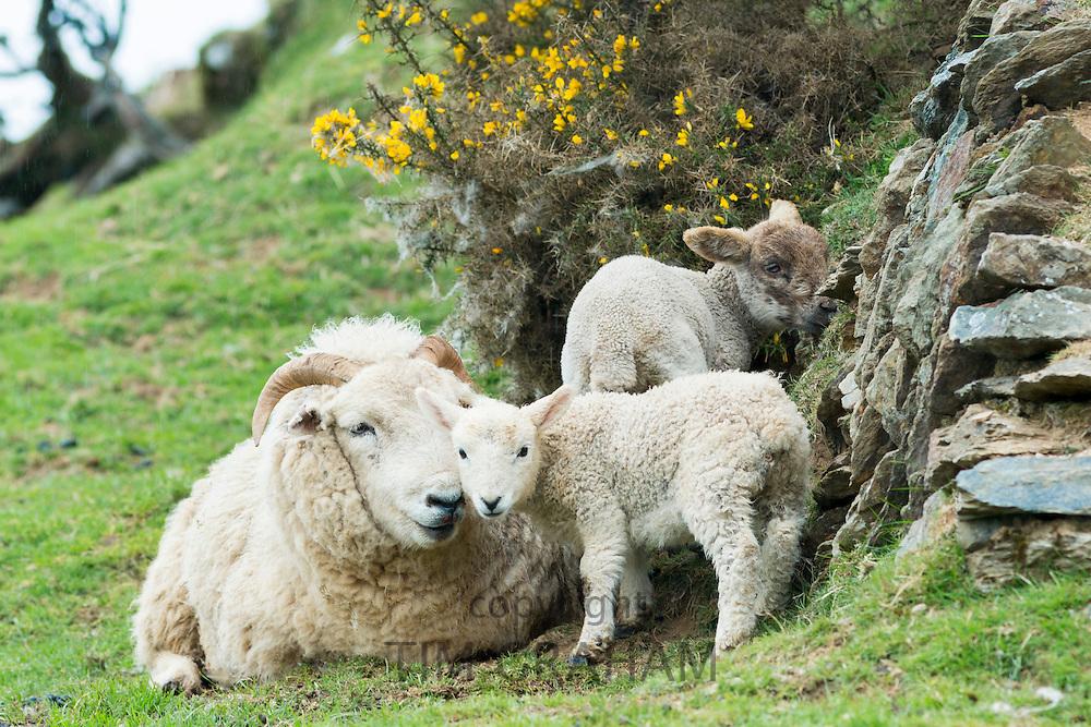 Sheep ewe and lambs shelter by drystone wall and gorse bush in Exmoor National Park, Somerset, United Kingdom