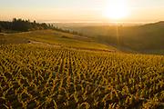 Koosah Farm fall colors 2018, Eola-Amity Hills AVA, Willamertte Valley, Oregon