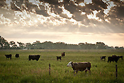 Cattle graze in pastureland in the Sandhills of Holt County, Nebraska.