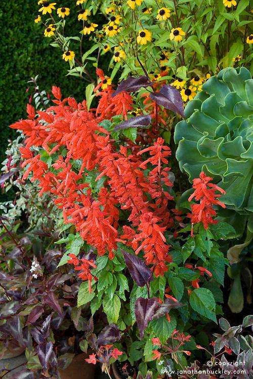 Salvia 'Rambo' growing in a pot