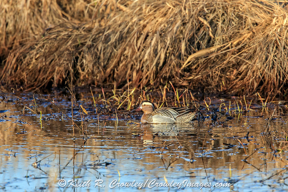A male Garganey, usually found in Europe and western Asia, makes a rare visit to North America at Crex Meadows State Wildlife Area near Grantsburg, Wisconsin. This is the first reported instance of the species in the state.