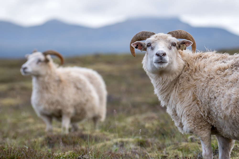 Iceland - Icelandic sheep near Þingvellir