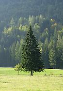Spruce on grass