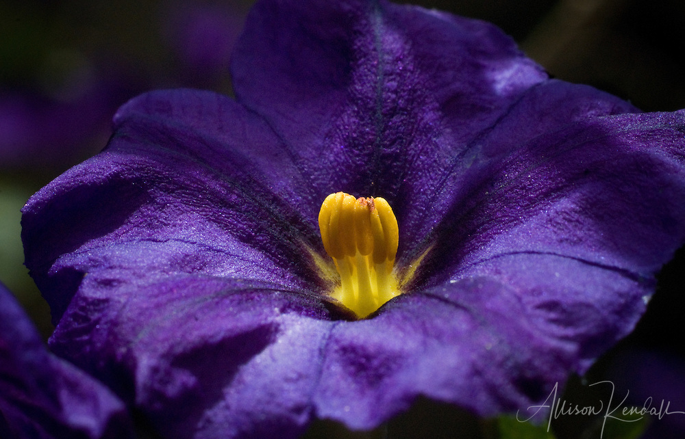 Purple and yellow flower macro apk photography a close up of a dark purple flower with yellow center mightylinksfo