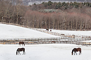 Otisville, New York - Horses graze in snow-covered fields on April 1, 2015.