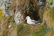 EN.- Fulmar (Fulmarus glacialis) resting on its cliff nest. Scotland. UK<br /> ES.- Fulmar (Fulmarus glacialis) descansando en su nido sobre un acantilado. Escocia, Reino Unido.
