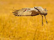 Landing - Bosque del Apache