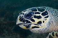 Hawksbill sea turtle-Tortue imbriquée (Eretmochelys imbricata), indian ocean, South Africa.