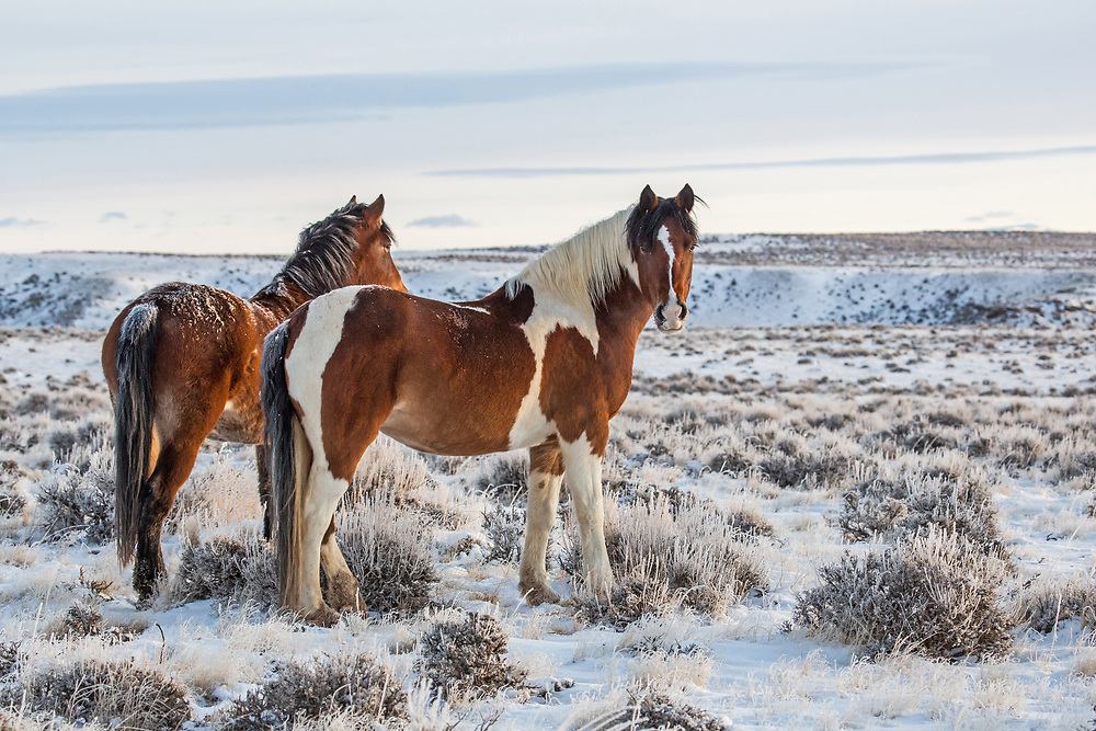 Subzero temperatures and higher than average humidity cause the formation of hoarfrost on both the sage and the mustangs of the McCullough Peaks Herd Management Area, outside Cody, Wyoming.