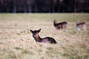 "Fallow Deer (Dama dama) grazing on the ""15 acres"" in the Phoenix Park, Dublin. There's been a herd here since the 17th century. They live completely wild elsewhere in Ireland, and were introduced by the Normans in the 12th century."
