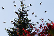 A murder of American crows flies low over trees in Lynnwood, Washington.