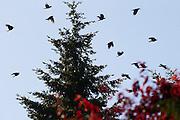 A murder of American crows flies low over trees in Lynnwood, Washington.
