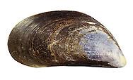 Common Mussel - Mytilus edulis