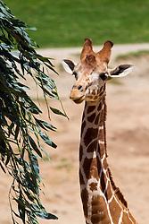 Reticulated giraffe (Giraffa camelopardalis), San Diego Zoo Safari Park, Escondido, California, United States of America