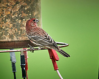 House Finch. Image taken with a Nikon D5 camera and 600 mm f/4 VR telephoto lens (ISO 1600, 600 mm, f/5.6, 1/800 sec).
