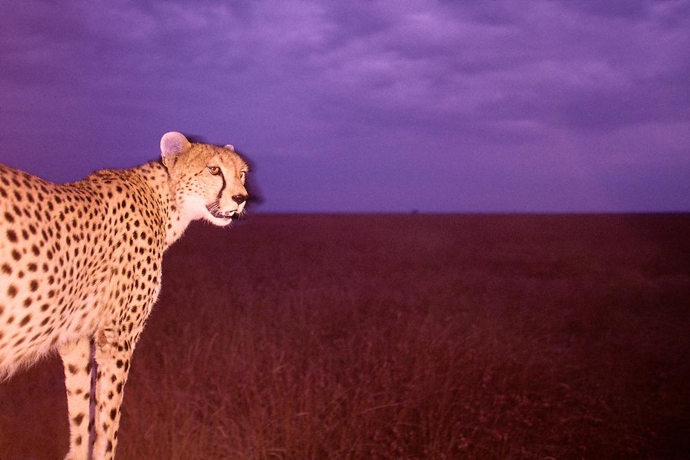 Kenya, Masai Mara Game Reserve, Flash portrait of adult female Cheetah (Acinonyx jubatas) at dusk