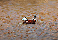 A male Ruddy Duck in courtship display on a northern Utah pond.