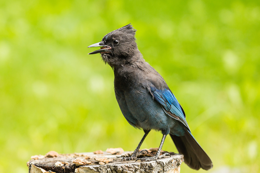 Steller's jay (Cyanocitta stelleri) gathering almonds in Southcentral Alaska. Summer. Afternoon.