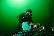 Diver (Fischerman) collecting Chilean blue mussel (Mytilus chilensis) Comau Fjord, Patagonia, Chile | Taucher sammelt (Mytilus chilensis) um sie dann auf dem Markt zu verkaufen. Comau Fjord, Chile