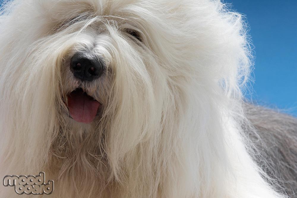 Sheepdog close-up
