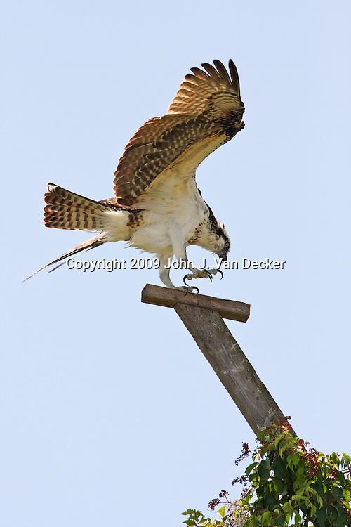 Osprey landing on nesting perch