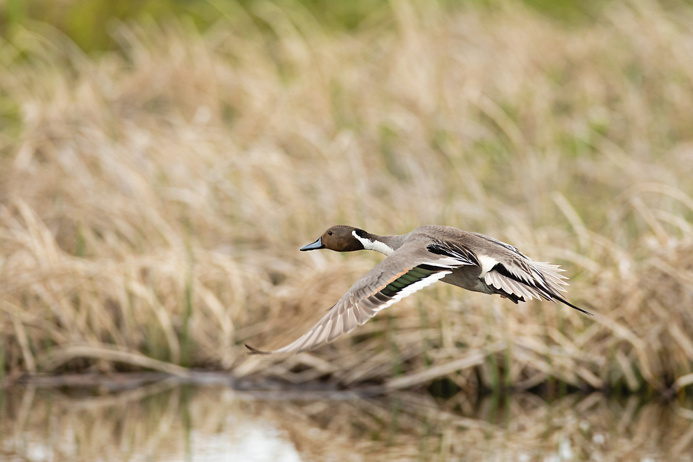 Male Northern Pintail (Anas acuta) flying at Potter Marsh in Southcentral Alaska. Spring. Morning.