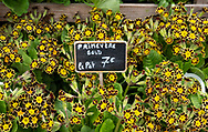 A display of primulas on sale at a florist in Paris, France, Europe