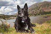 Portrait of a black dog in the Sierra Nevada mountains near Yosemite National Park.