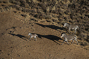 Hartmann's Mountain Zebra (Equus zebra hartmannae)<br /> Private game ranch<br /> Great Karoo<br /> SOUTH AFRICA