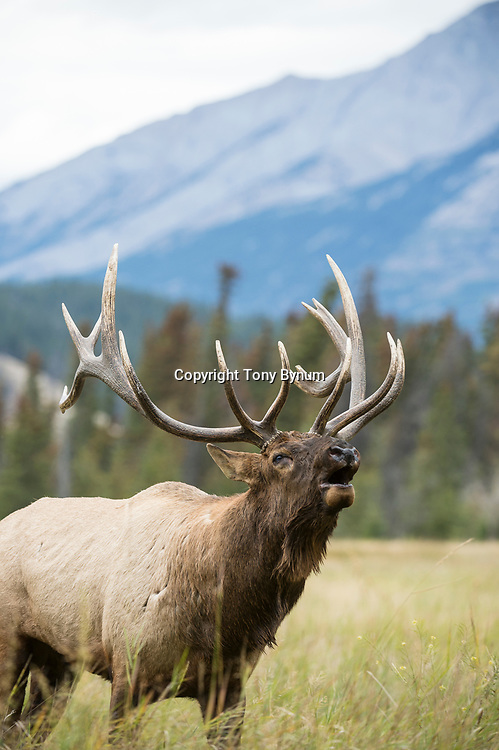 bull elk in grass with mountain background bugling