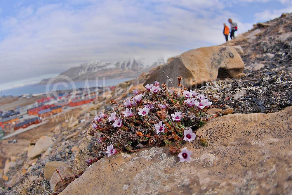 Alberto Carrera, Purplesaxifrage, Saxifraga oppositifolia, Longyearbyen, Arctic, Spitsbergen, Svalbard, Norway, Europe