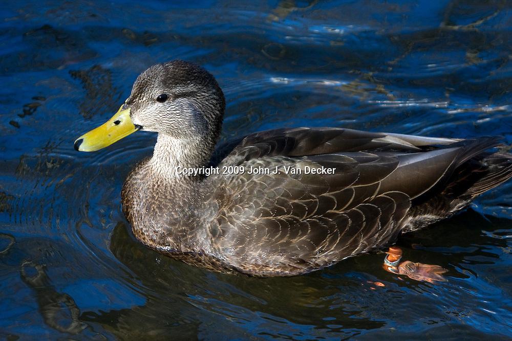 American Black Duck male swimming