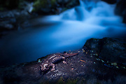 Pacific giant salamander (Dicamptodon tenebrosus) streamside at night in the Columbia River Gorge, Oregon. Please note: this image is two stacked frames. The stream and salamander were exposed separately in the same spot at different times.