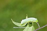 04012-00101 Promethea Moth (Callosamia promethea) caterpillar on host plant, Wild Cherry, Marion Co., IL