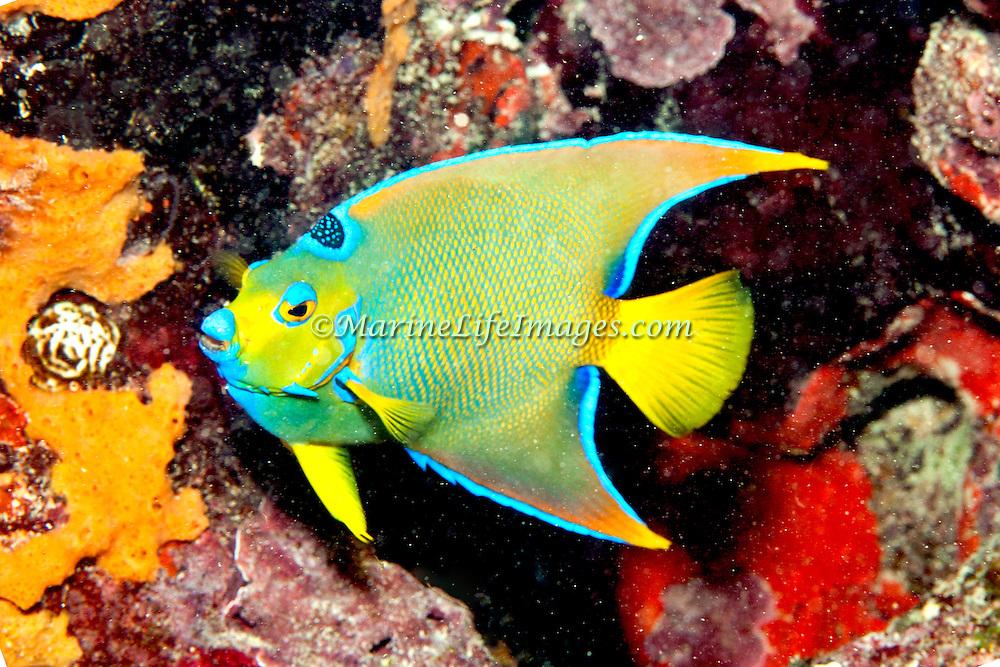 Queen Angelfish inhabit reefs and surrounding areas in Tropical West Atlantic; picture taken Key Largo, FL.