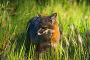 Channel Island Fox (Urocyon littoralis), Santa Cruz Island, Channel Islands National Park, California USA