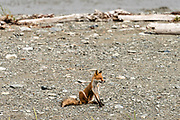 A red fox adult stops to scratch on the beach at the McNeil River State Game Sanctuary on the Kenai Peninsula, Alaska. The remote site is accessed only with a special permit and is the world's largest seasonal population of brown bears in their natural environment.