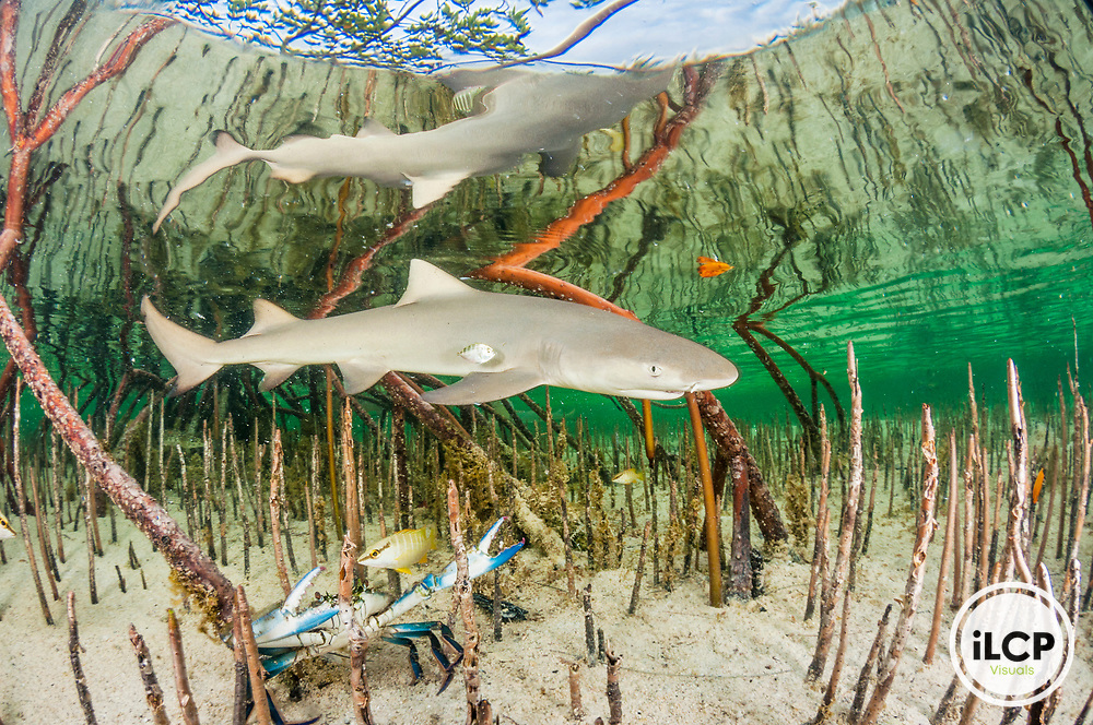 A lemon shark pup (Negaprion brevirostris) uses the mangroves as protection from large sharks. The ecosystem is also home to many potential prey items like juvenile fish and crabs. This shark will spend the first 5 to 8 years of her life in this mangrove creek and return to the same one to give birth. Image made on Eleuthera Island, Bahamas.