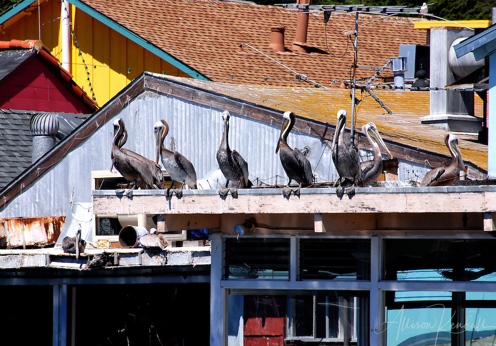 Pelicans hanging out at Fisherman's wharf, Monterey