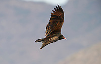 Turkey Vulture (Cathartes aura), in flight,  Ajijic, Jalisco, Mexico