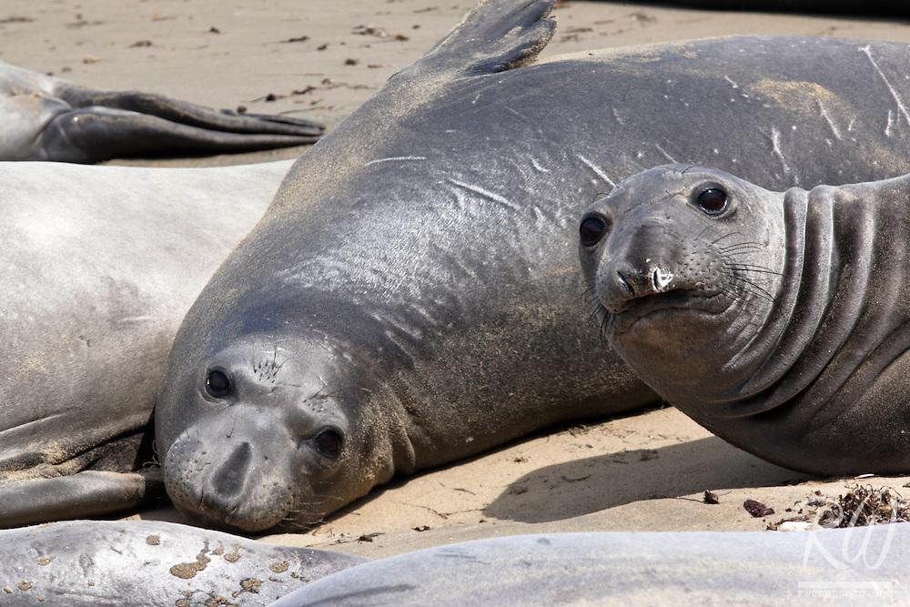 Elephant Seals, Point Reyes National Seashore, California