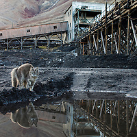 Norway, Svalbard, Spitsbergen Island, Pyramiden, Stray cat drinking from pond at abandoned Russian coal mining settlement