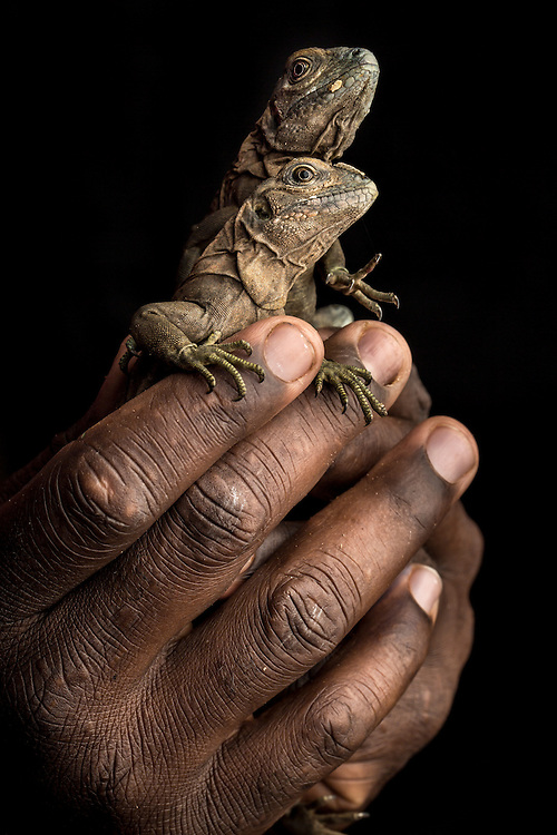 The Jamaican iguaua, Cyclura collei, is a critically endangered species from the Hellshire Hills in Portland Bight Protected Area, Jamaica