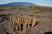 Lava Cactus (Brachycereus Nesioticus) in the volcanic landscape on Fernandina Island, Galapagos Archipelago - Ecuador.