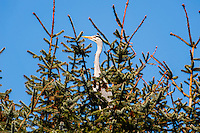 Grey Herons nesting in a forest in Stavanger, Norway.