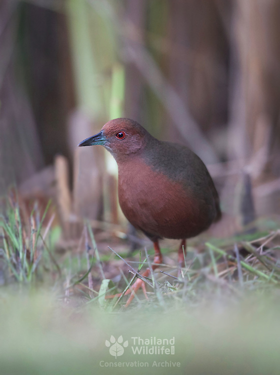 The ruddy-breasted crake (Porzana fusca), or ruddy crake, is a waterbird in the rail and crake family Rallidae.